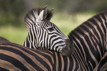 Burchell's zebra resting it's head on another's back
