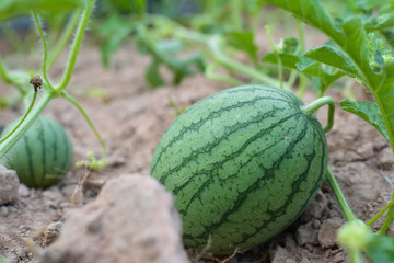 melon field with heaps of ripe watermelons in summer from Thailand