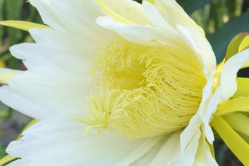 Close up ThanhLong flower in sunlight.