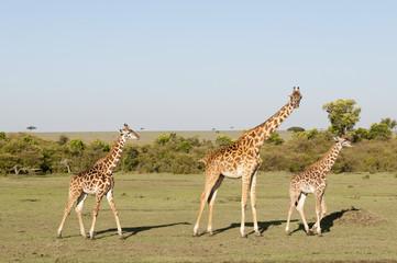 Giraffe (Giraffa camelopardalis), Masai Mara, Kenya, East Africa, Africa