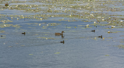 ducks on the river among the water lilies