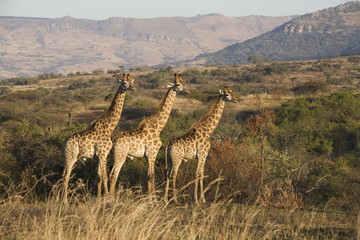 Giraffes (Giraffa camelopardalis), Ithala (Ntshondwe) Game reserve, KwaZulu Natal, South Africa, Africa