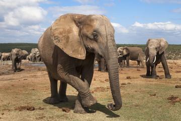 Elephant (Loxodonta africana), Addo Elephant National Park, South Africa, Africa