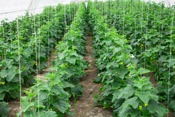 To grow cucumbers in the greenhouse clean environmentally friend