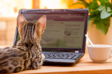 Bengal Kitten surfing the Web