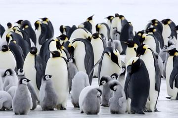 Emperor penguins (Aptenodytes forsteri). Snow Hill Island