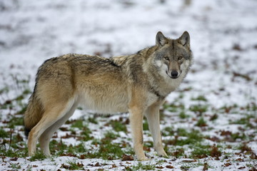 Gray wolf (grey wolf), Canis lupus, Wildlife Preserve, Rheinhardswald, Germany, Europe