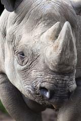 Black rhino (Diceros bicornis), captive, native to Africa