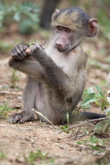 Young chacma baboon (Papio cynocephalus ursinus), Kruger National Park, Mpumalanga, South Africa, Africa