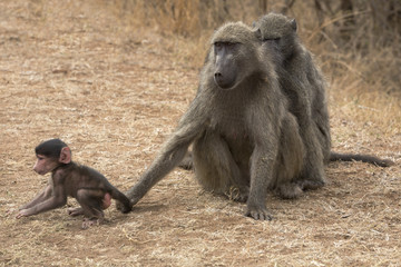 Chacma baboon (Papio cynocephalus ursinus), with baby, Kruger National Park, South Africa, Africa