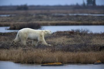 Polar bear, Ursus maritimus, Churchill, Manitoba, Canada, North America