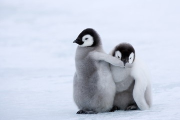 Emperor penguin chicks (Aptenodytes forsteri), Snow Hill Island, Weddell Sea, Antarctica, Polar Regions