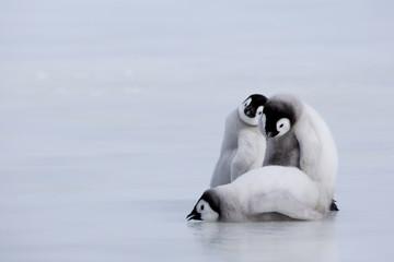 Emperor penguin chicks (Aptenodytes forsteri), Snow Hill Island, Weddell Sea, Antarctica, Polar Regions