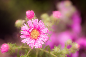 Raindrops on a pink aster flower blossom