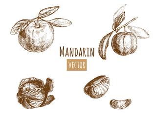 Set of orange, mandarin, whole fruit and leaves, half of peeled mandarin, citron and slices, hand draw sketch, outline on white background, vector illustration, vintage
