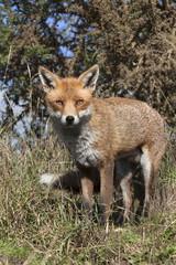 Red fox (Vulpes vulpes) in captivity, United Kingdom, Europe