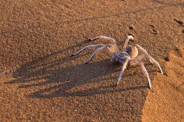Dancing white lady spider (Leucorchestris arenicola), Namib Desert, Namibia, Africa