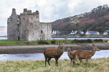 Red deer, Lochranza, Isle of Arran, Scotland, United Kingdom, Europe