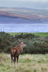 Red deer stag (Cervus elaphus), Isle of Arran, Scotland, United Kingdom, Europe