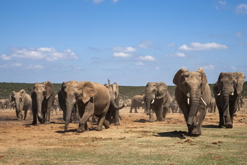 African elephants (Loxodonta africana) at Hapoor waterhole, Addo Elephant National Park, Eastern Cape, South Africa, Africa