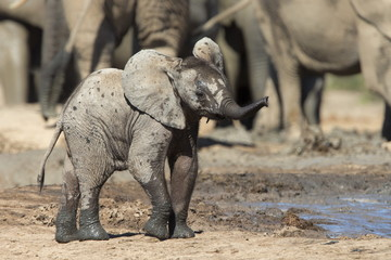 African elephant's calf at waterhole