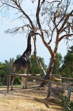 Тунис.Зоопарк Фригия. Жираф.