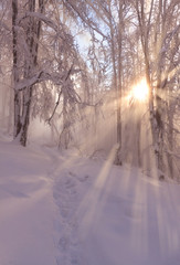 Beatiful morning sunrays in winter forest with amazing sun beams