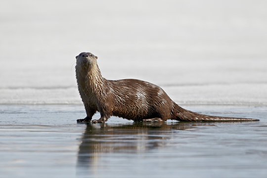 River otter (Lutra canadensis) on frozen Yellowstone Lake, Yellowstone National Park, Wyoming