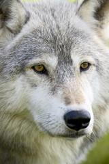 Gray wolf (Canis lupus) in captivity, Sandstone, Minnesota