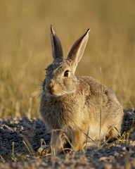 Desert cottontail (Sylvilagus auduboni), Wind Cave National Park, South Dakota, United States of America, North America