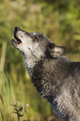 Gray wolf (Canis lupus) howling, in captivity, Minnesota Wildlife Connection, Minnesota, United States of America, North America