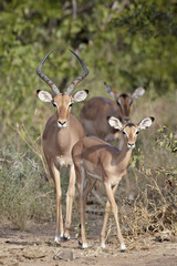 Male and female impala (Aepyceros melampus), Kruger National Park, South Africa, Africa