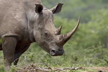 White rhinoceros (Ceratotherium simum), Imfolozi Game Reserve, South Africa, Africa
