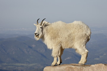 Mountain goat (Oreamnos americanus), Mount Evans, Colorado, United States of America, North America