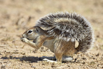 Male Cape ground squirrel (Xerus inauris), Kgalagadi Transfrontier Park, encompassing the former Kalahari Gemsbok National Park, South Africa, Africa