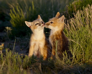Two swift fox (Vulpes velox) kits, Pawnee National Grassland, Colorado, United States of America, North America
