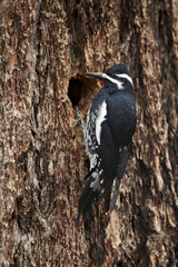 Male Williamson's sapsucker (Sphyrapicus thyroideus) at its nest hole, Yellowstone National Park, Wyoming, United States of America, North America