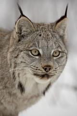 Canadian Lynx (Lynx canadensis) in snow in captivity, near Bozeman, Montana, United States of America, North America