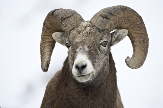 Bighorn sheep (Ovis canadensis) ram in the snow, Yellowstone National Park, Wyoming