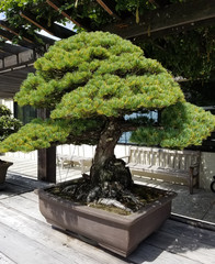 Bonsai and Penjing landscape with miniature pine tree in a tray