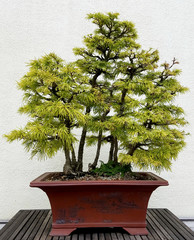 Bonsai and Penjing landscape with miniature deciduous trees in a tray