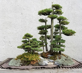 Bonsai and Penjing landscape with miniature evergreen trees in a tray