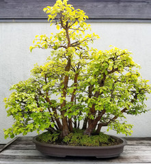 Bonsai and Penjing landscape with miniature deciduous quince trees in a tray