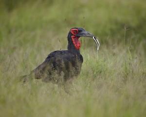 Southern Ground-Hornbill (Ground Hornbill) (Bucorvus leadbeateri) with a snake, Kruger National Park, South Africa, Africa