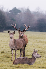 Red deer in foggy field