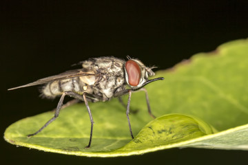 Fly on leaf extreme close up - Macro photo of fly on leaf