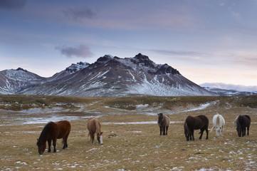 Icelandic horses in Fjardara valley, Borgarfjorur Eystri fjord, near Bakkagerdi, Mount Stadarfjall behind, East Fjords area, Iceland, Polar Regions