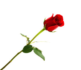 beautiful single red rose isolated on white background