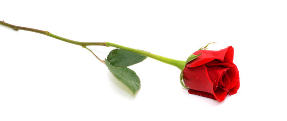 beautiful single red rose isolated on white background
