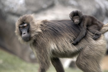 Gelada baboons, in the Simien Mountains National Park, Ethiopia, Africa